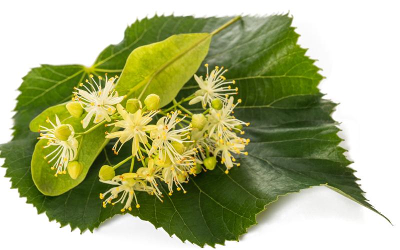 Lindenblueten - Heilpflanzen - die Chance für eine bessere Gesundheit
